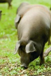 cochon iberique pata negra