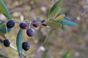 olives galega mures