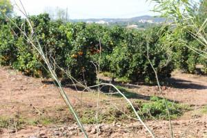 veine d'oranges de silves algarve sud portugal