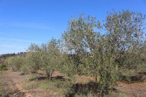 Algarve olivier du sud portugal