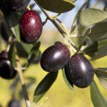 olive galega